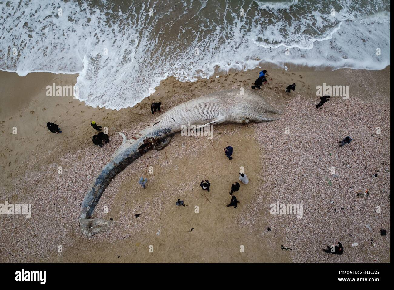Nitzanim Reserve, Israel. 19th Feb, 2021. An aerial view of a dead fin whale calf washed up on a beach south of Tel Aviv. According to Israeli officials, it wasn't clear what caused the death. Credit: Oren Ziv/dpa/Alamy Live News Stock Photo