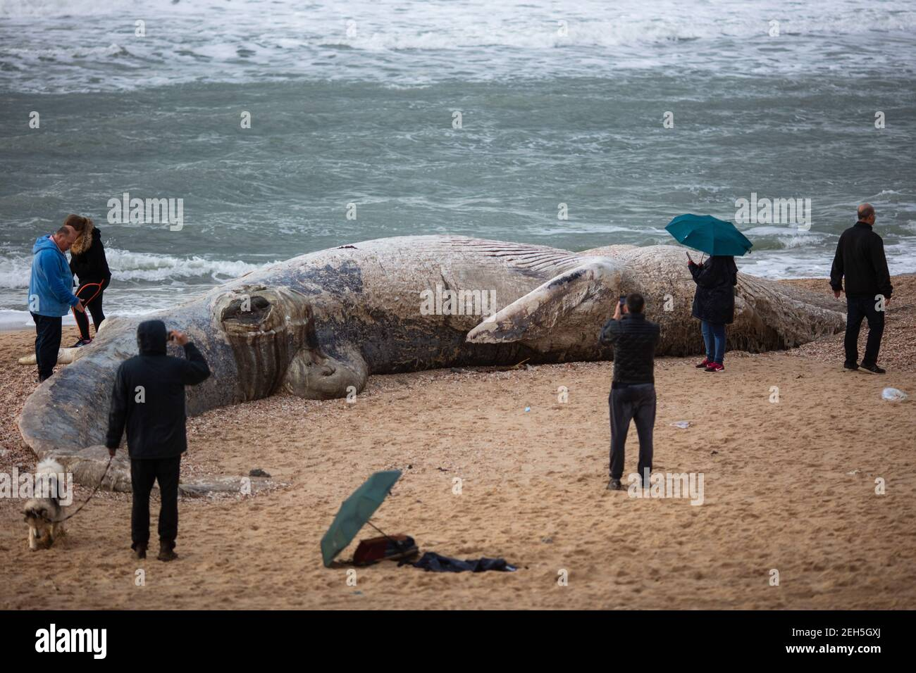 Nitzanim Reserve, Israel. 19th Feb, 2021. People gather around a dead fin whale calf that washed up on a beach south of Tel Aviv. According to Israeli officials, it wasn't clear what caused the death. Credit: Ilia Yefimovich/dpa/Alamy Live News Stock Photo