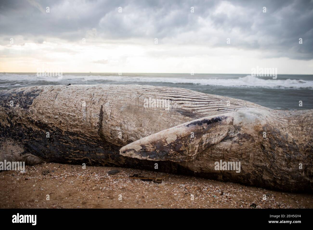 Nitzanim Reserve, Israel. 19th Feb, 2021. A general view of a dead fin whale calf that washed up on a beach south of Tel Aviv. According to Israeli officials, it wasn't clear what caused the death. Credit: Ilia Yefimovich/dpa/Alamy Live News Stock Photo