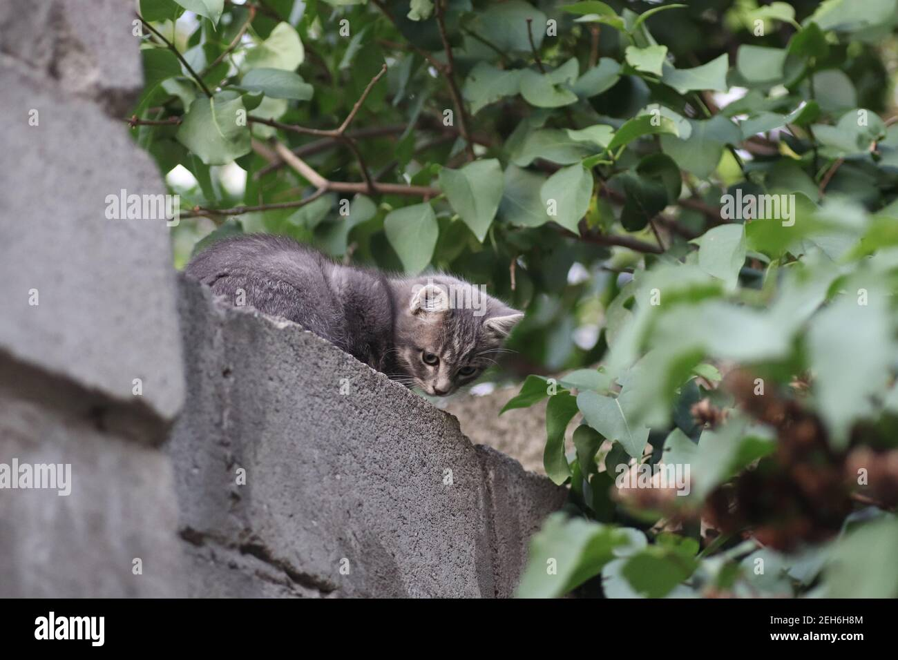 the muzzle of a gray cat on the fence, the cat looks out from above Stock Photo