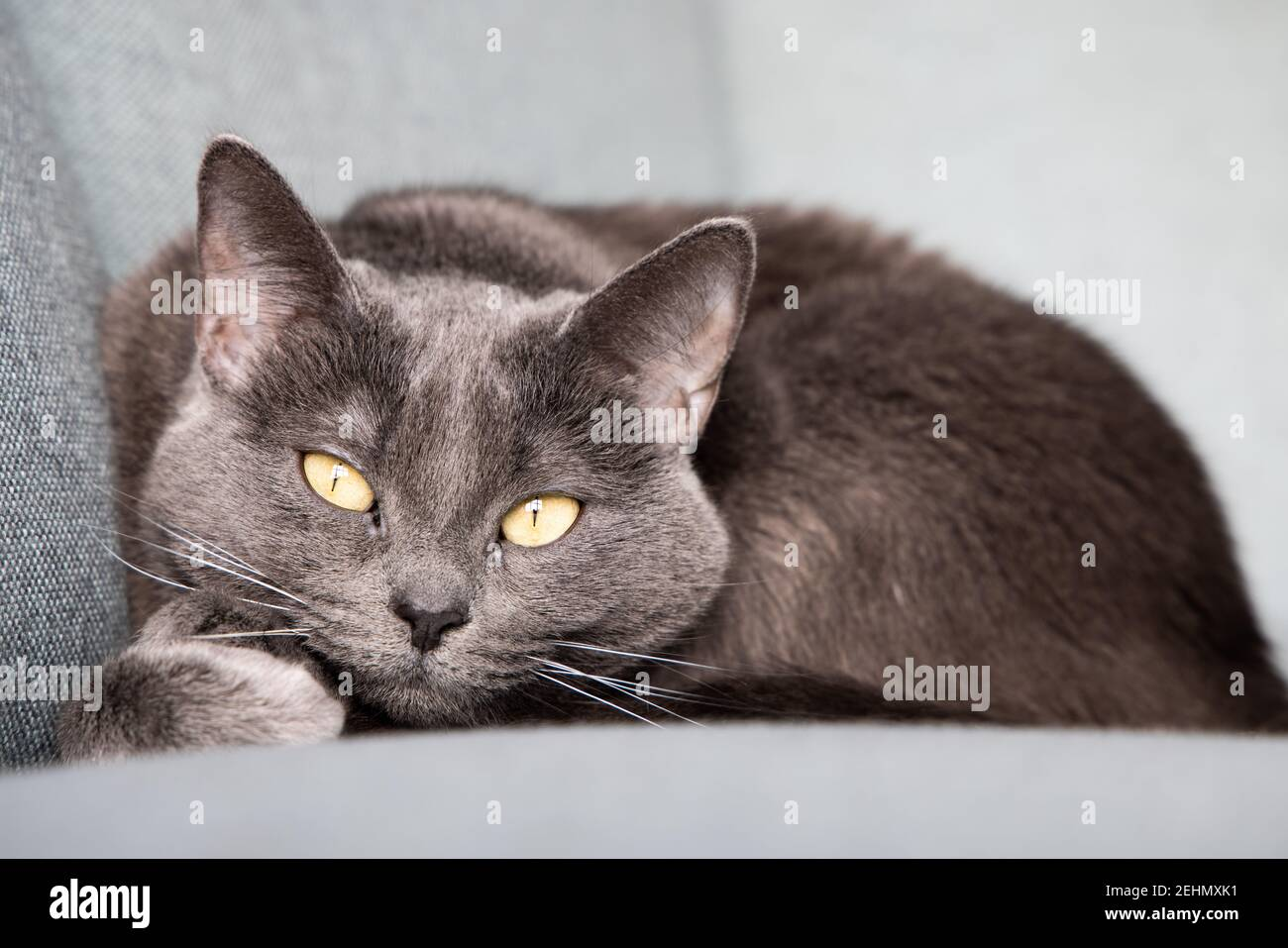 Lazy russian blue breed cat resting on the sofa. Stock Photo