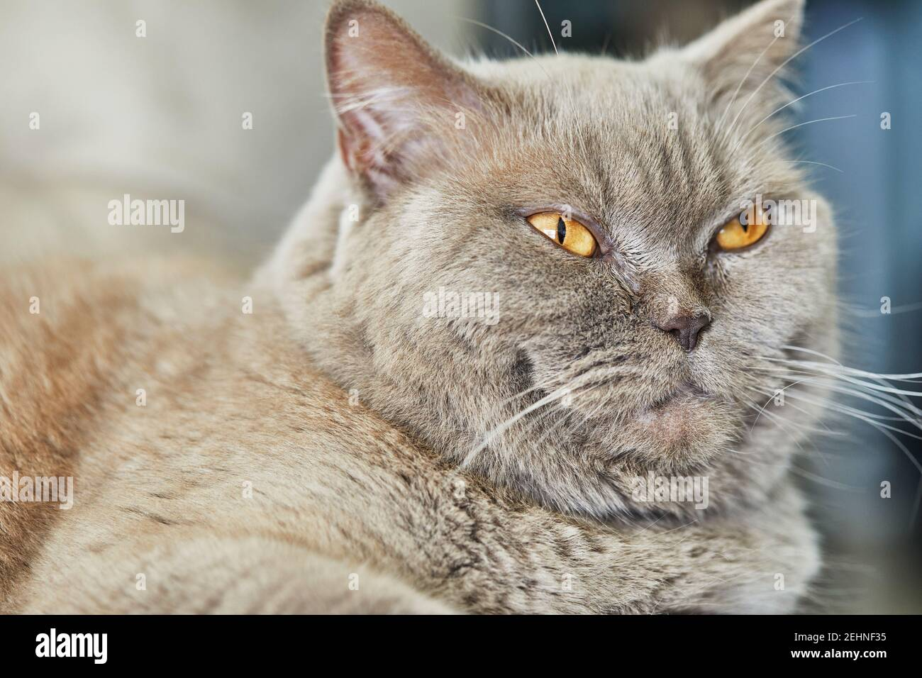 British gray cat is sitting on the couch, close-up. Stock Photo