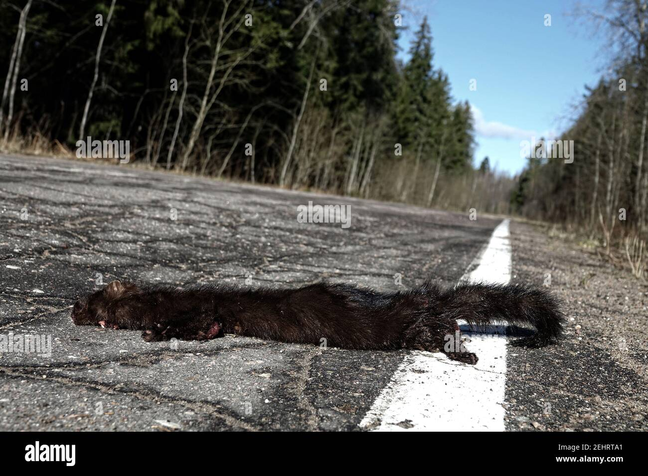 Mammals as victims of cars on roads. American mink (Mustela vison) hit by car on forest road, passing car in background. Every day millions of animals Stock Photo