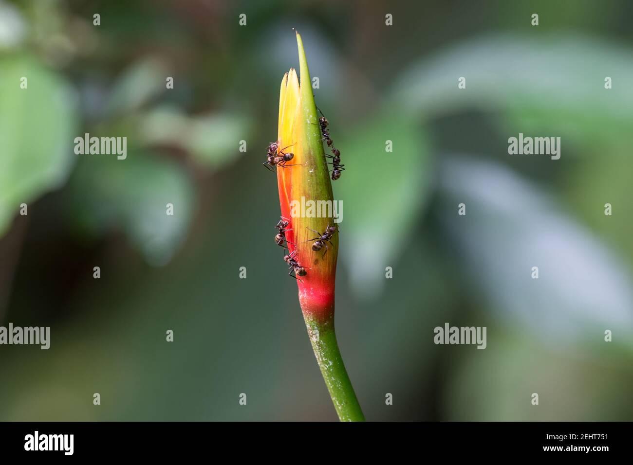 Flower with Bullet ant, Paraponera clavata, Amazon rainforest, Yasuni National Park, Napo River, Ecuador Stock Photo