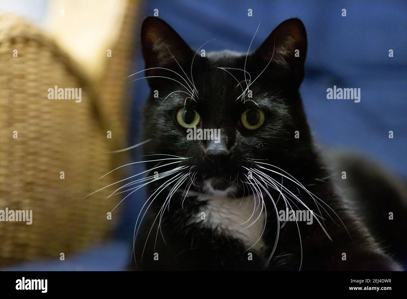 Black cat with yellow eyes on blue background Stock Photo