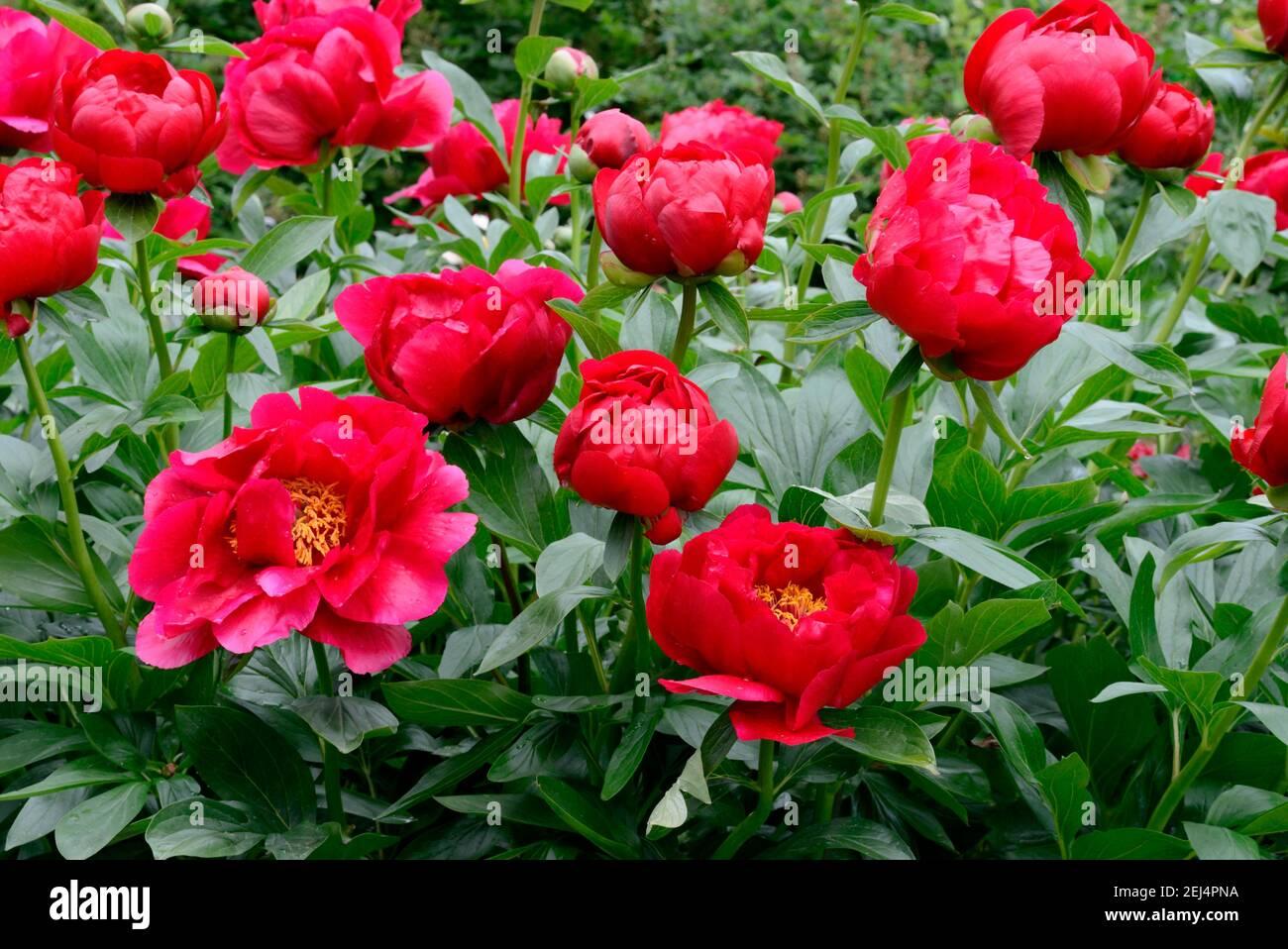 Peony, variety Postilion ( Paeonia lactiflora x officinalis) Stock Photo
