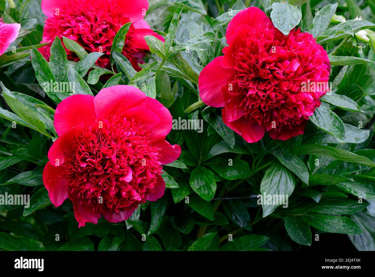 Peony, Red Charm variety( Paeonia lactiflora x officinalis) , grower Glasscock 1944, bloom, blossom, blooming, blooming, red, plant, plants, flower Stock Photo