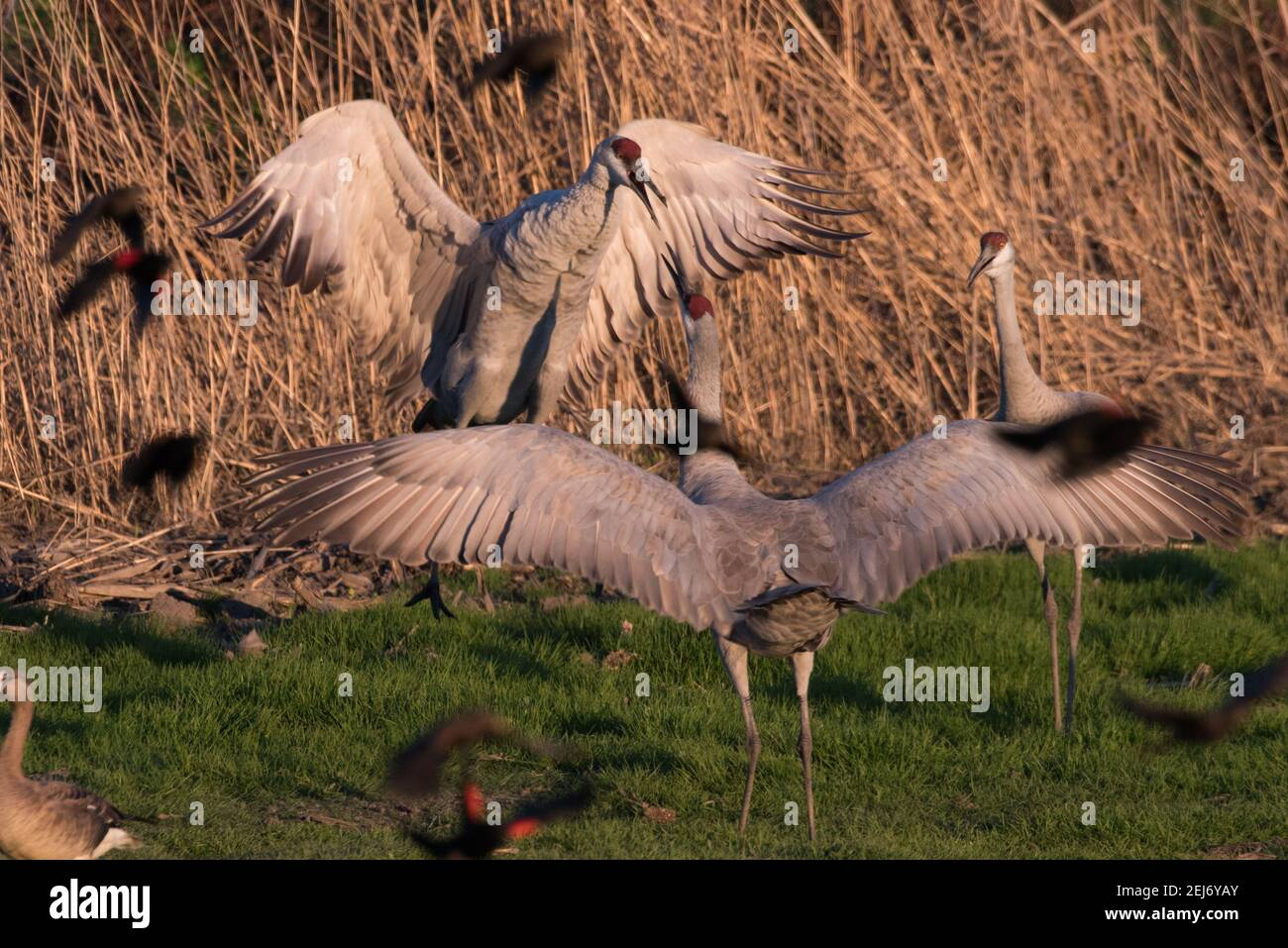 Sandhill cranes (Antigone canadensis) jumping around and fighting each other in the Cosumnes River preserve in Central California. Stock Photo