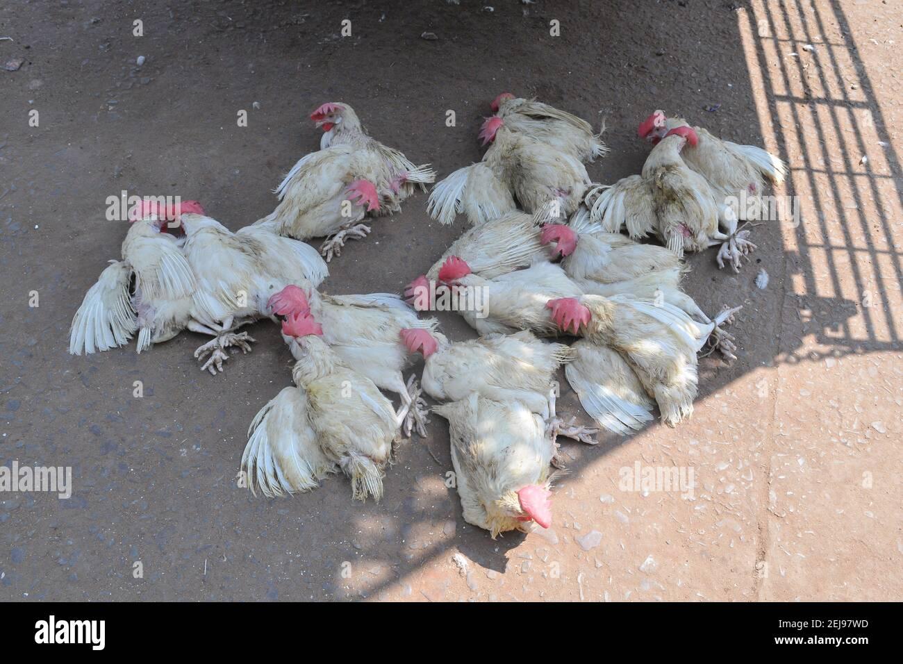 Jagdalpur- animal abuse market in Chhattisgarh-India Stock Photo