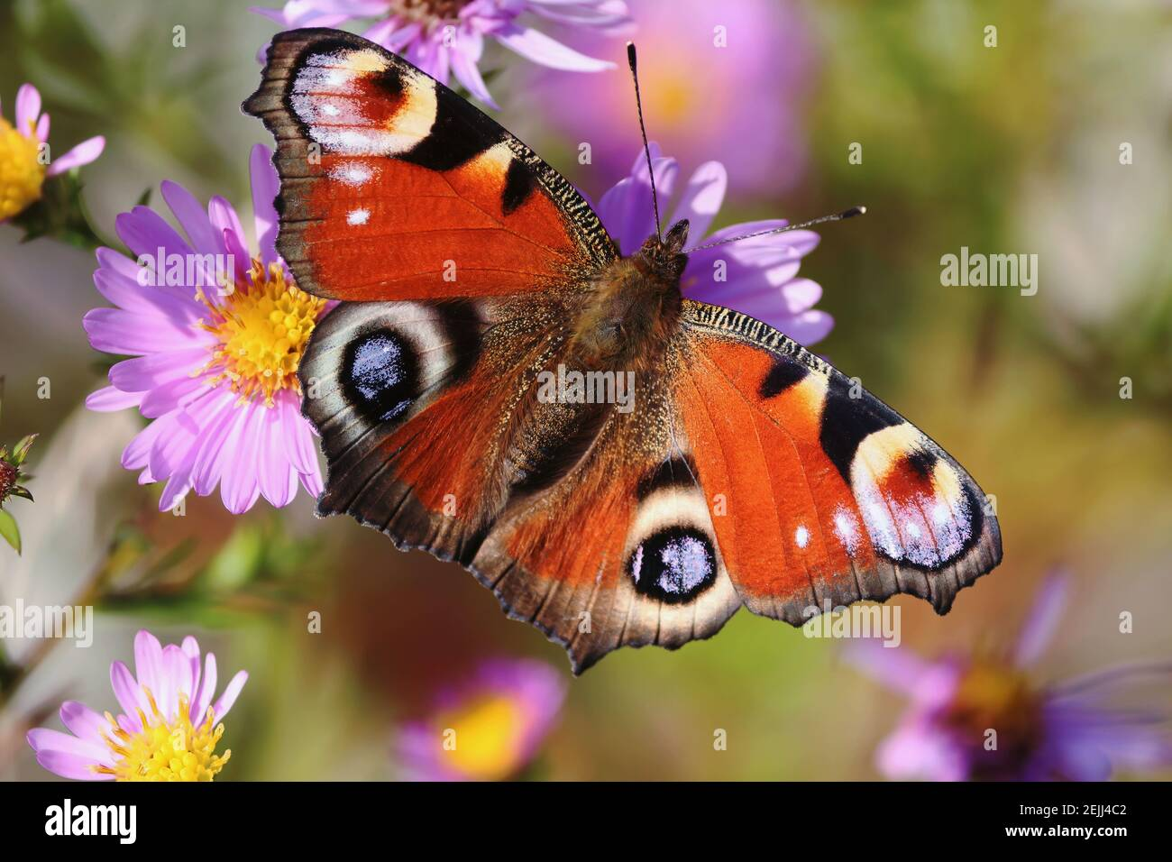 Aglais io or European Peacock Butterfly or Peacock. Butterfly on a flower. A brightly lit red-brown orange butterfly with blue lilac spots on wings. Stock Photo