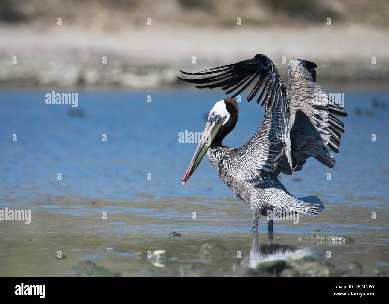 Brown Pelican (Pelecanus occidentalis) flies above the Malibu Lagoon SB, Malibu, CA. Stock Photo