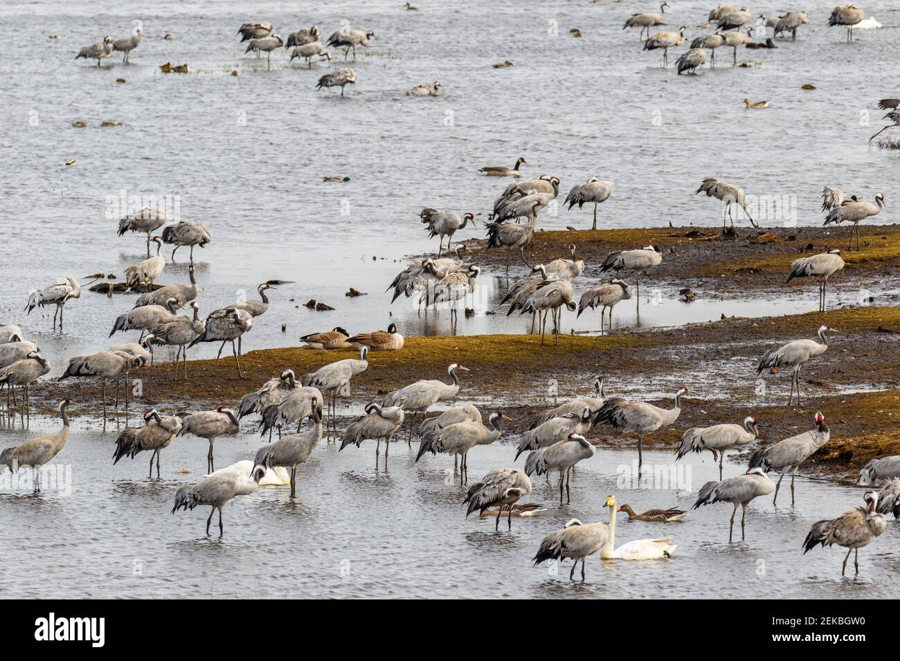 Resting Cranes and swans at a lake in the spring Stock Photo