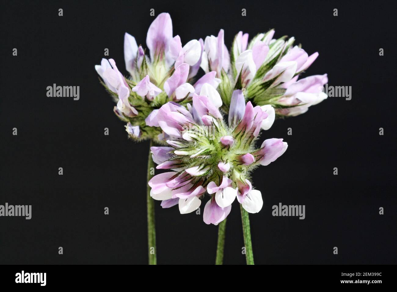 Asphaltklee Stock Photo