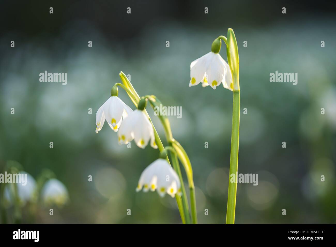 Leucojum vernum or spring snowflake - blooming white flowers in early spring in the forest, closeup macro picture. Stock Photo