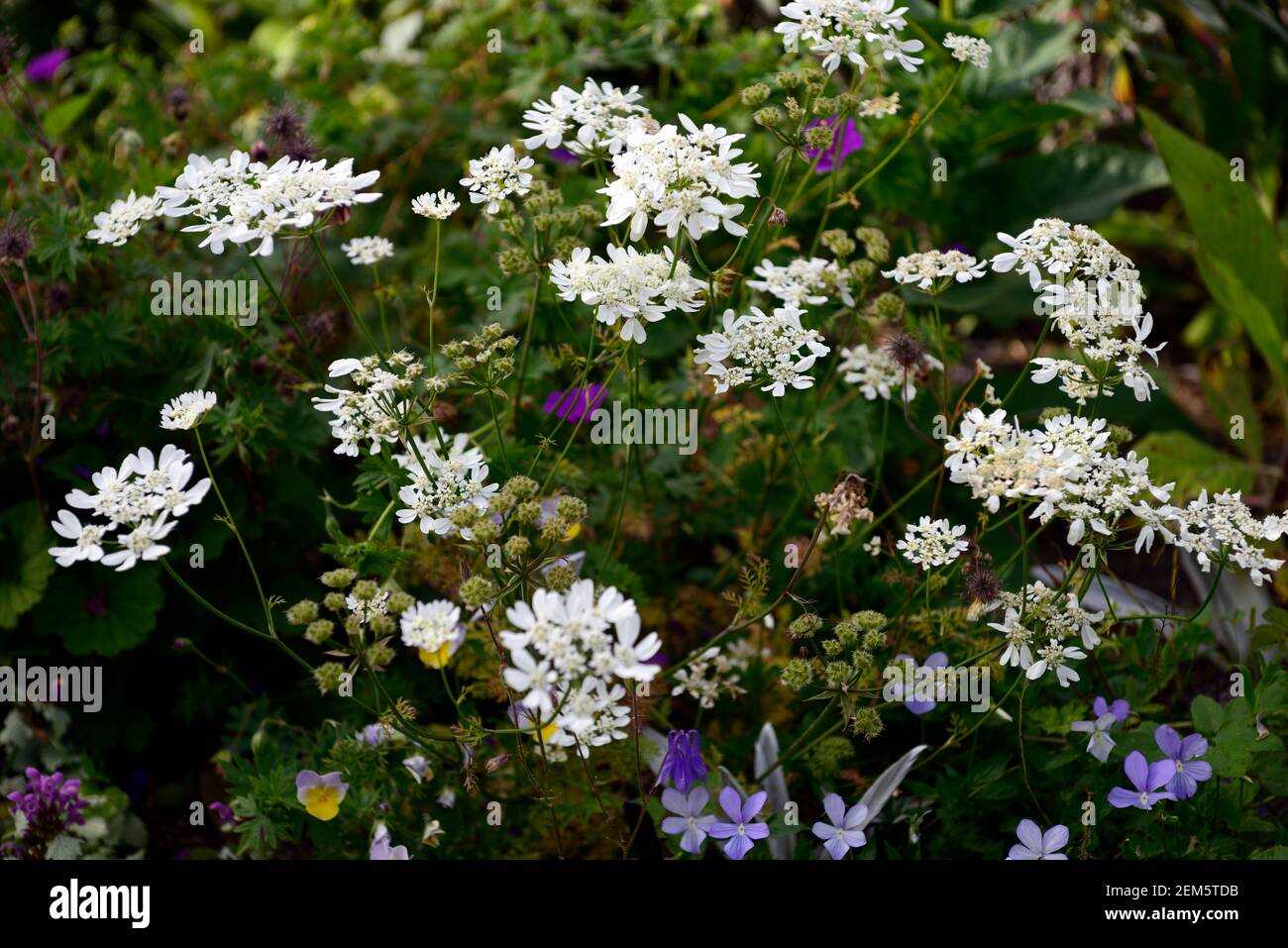 Orlaya grandiflora,white laceflower,multi-branched annual,divided ferny leaves,panicles, panicle white flowers,flowering annuals,RM floral Stock Photo