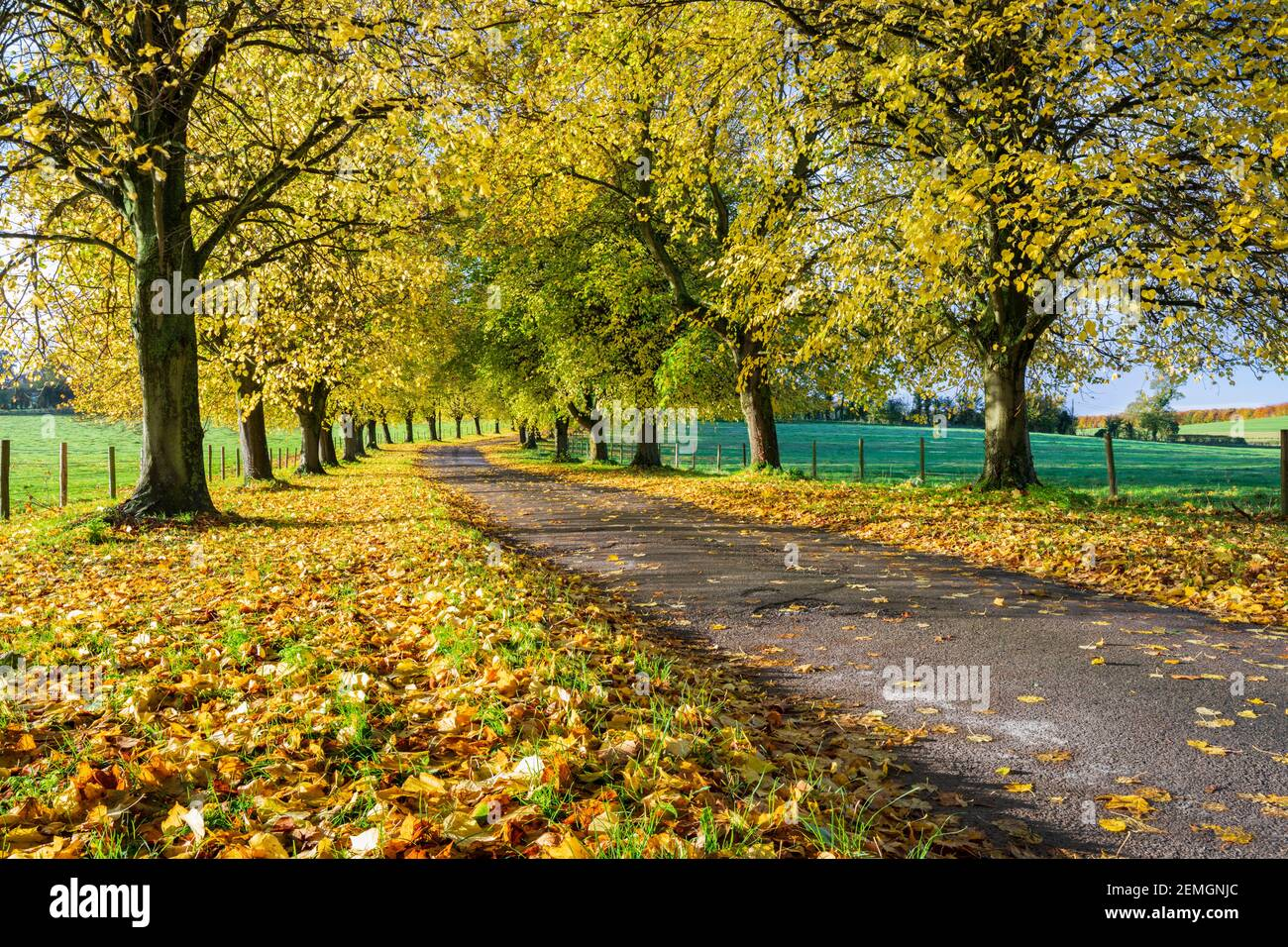 Avenue of autumn beech trees with colourful yellow leaves, Newbury, Berkshire, England, United Kingdom, Europe Stock Photo