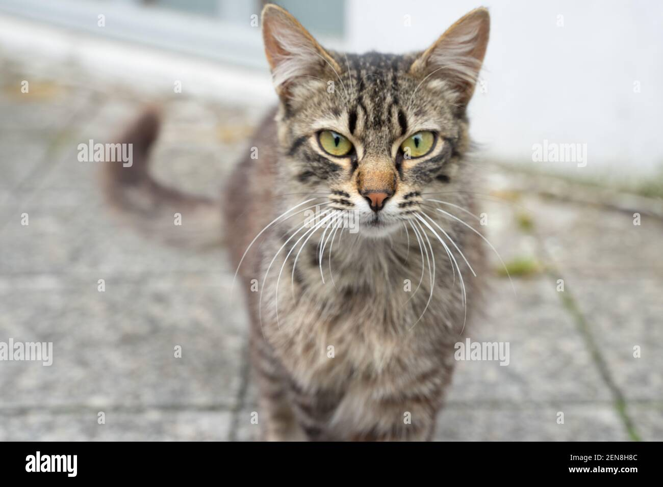 A tabby cat walking towards the camera; mid-shot with the blurred background Stock Photo