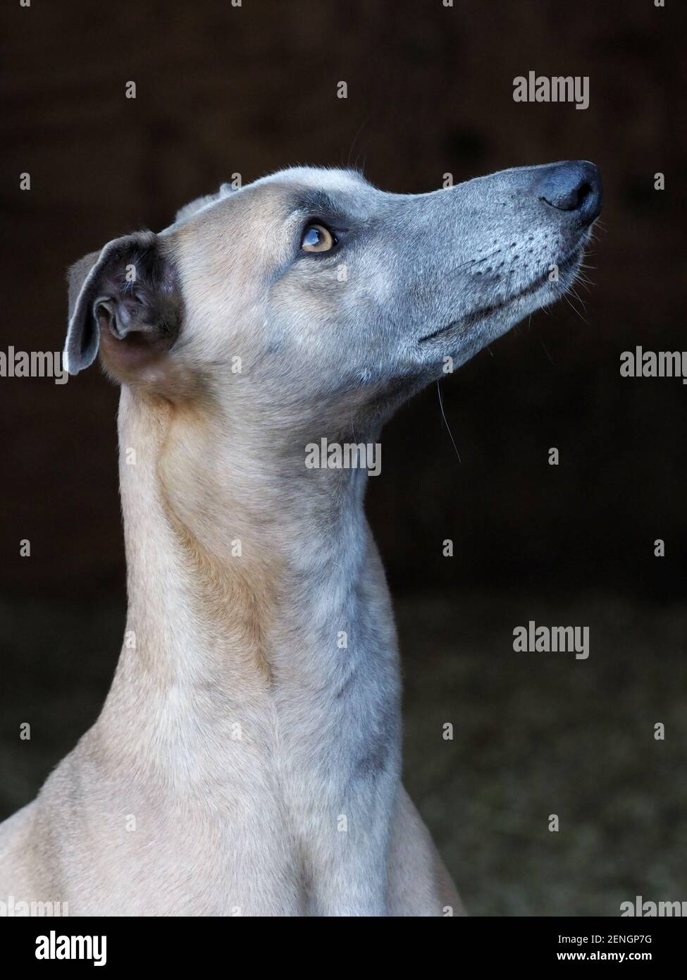 A head shot of a pretty Whippet against a black background. Stock Photo