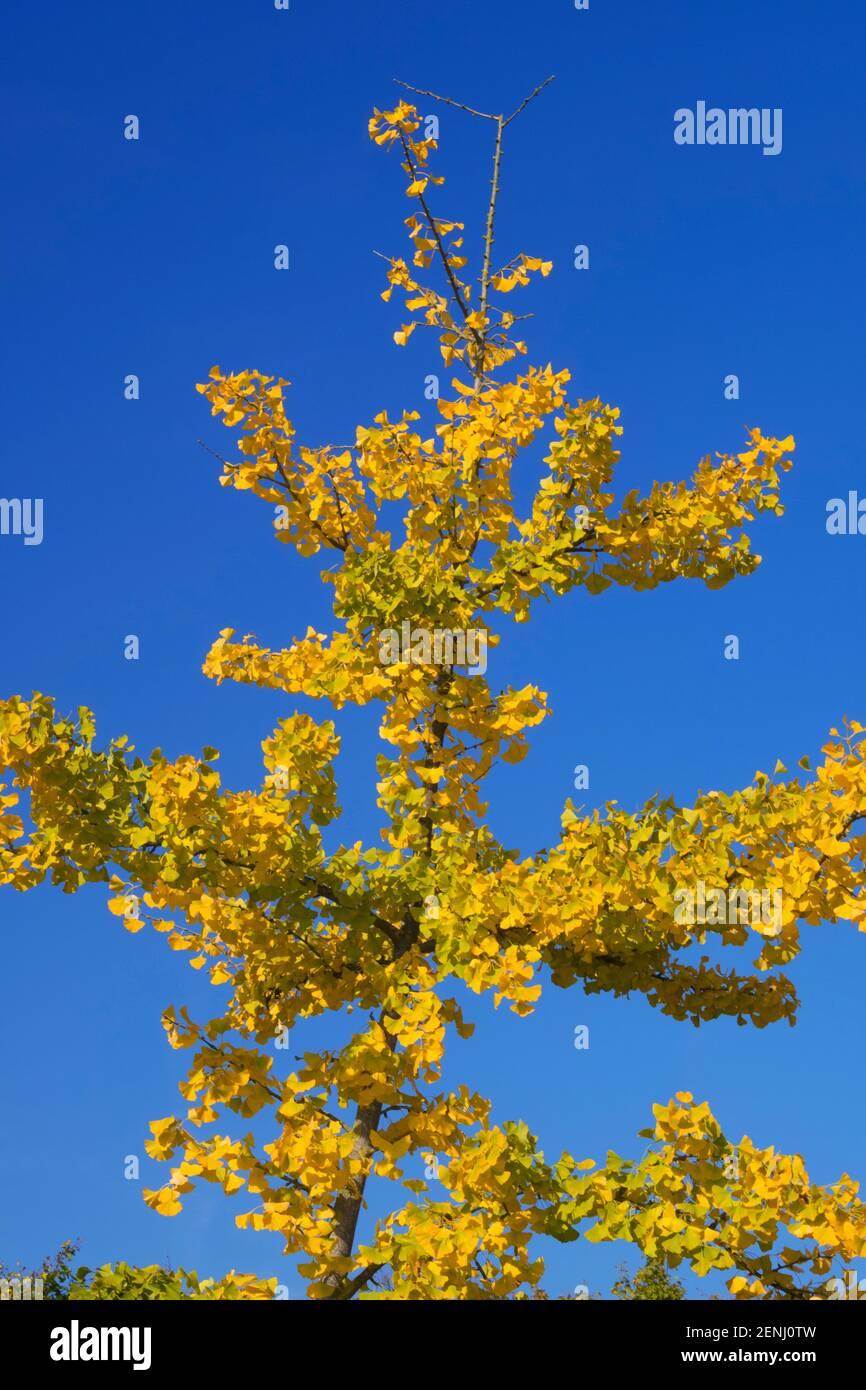 Ginkobaum, (Ginkgo biloba), blueht, Blueten, bluehender, Stock Photo