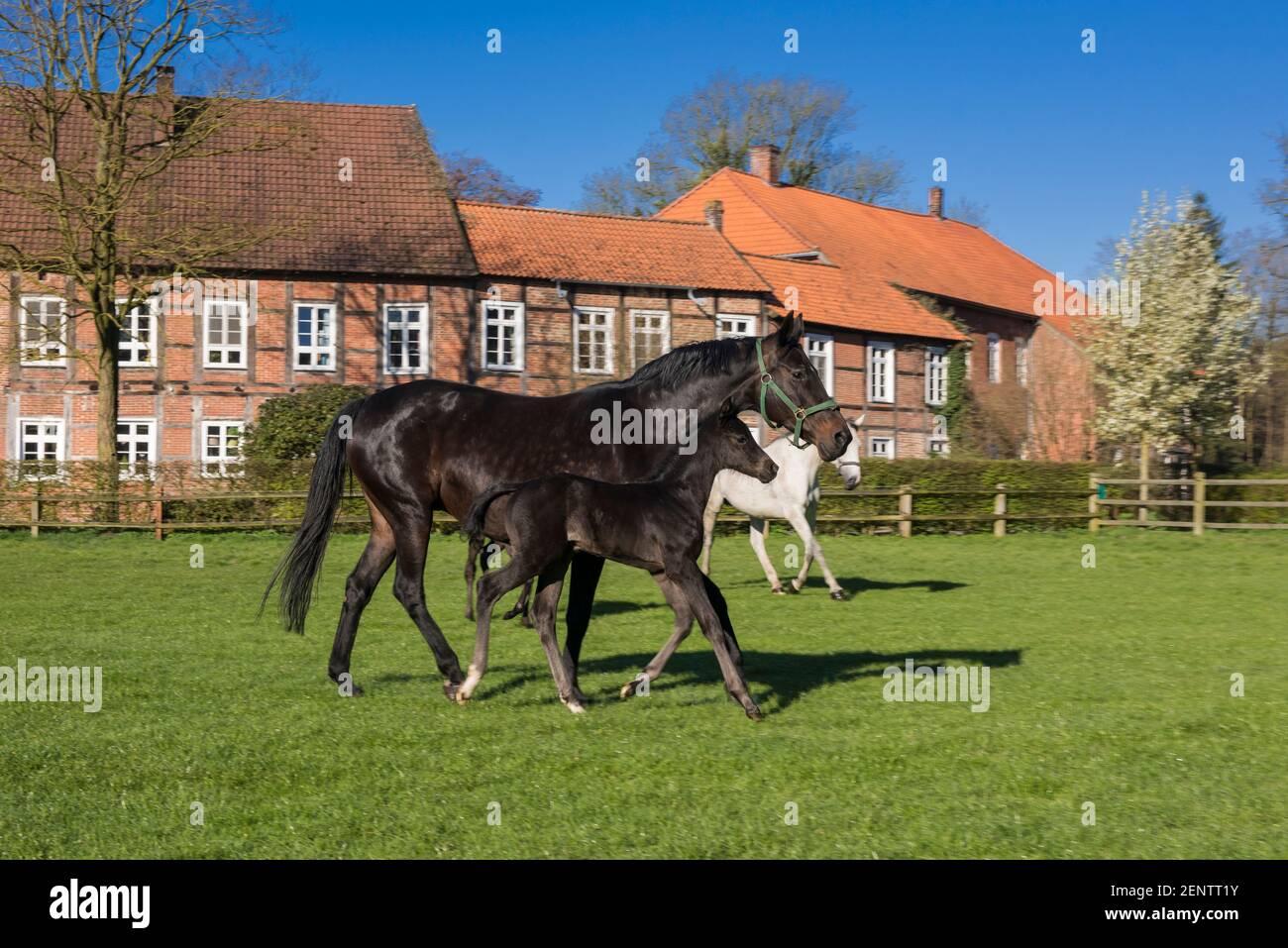 Pferde auf Gut Fuechtel in Vechta Stock Photo