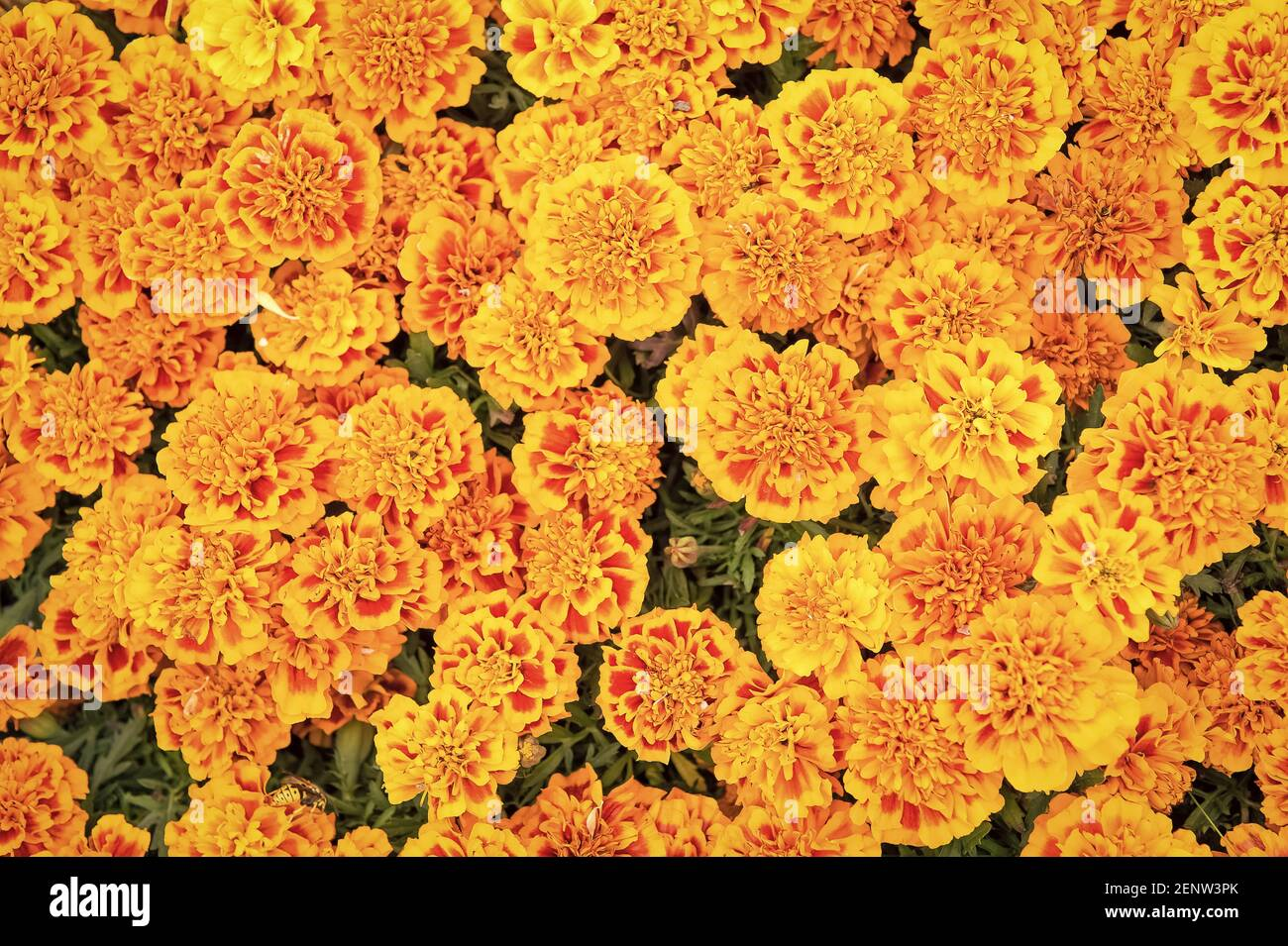 Blooming texture. Beautiful orange red marigold flowers leaves background pattern. Marigold flowers. Floral background. Botany and flora. Tagetes top view. Spring nature. Flowers in field. Stock Photo