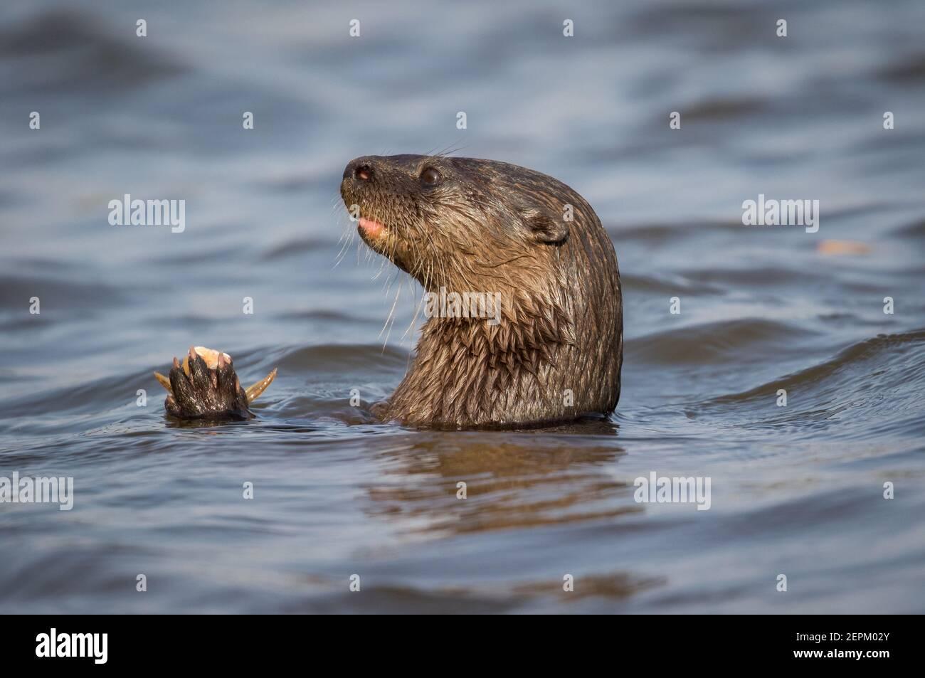 Neotropical otter in Fazenda Barranco Alto, Mato Grosso do Sul, Brazil. Stock Photo