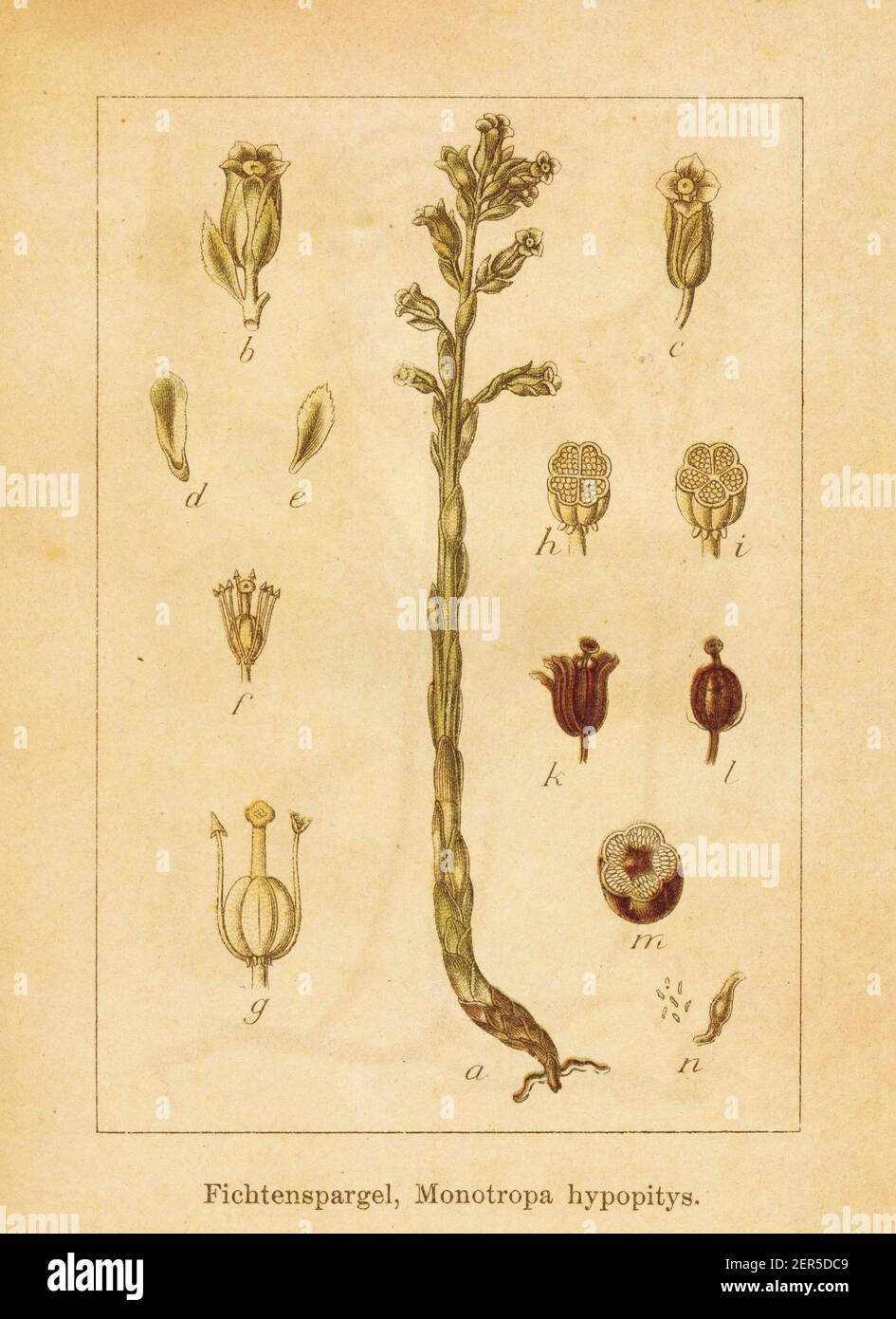 Antique illustration of a monotropa hypopitys, also known as pinesap, dutchman's pipe or yellow bird's-nest. Engraved by Jacob Sturm (1771-1848) and p Stock Photo