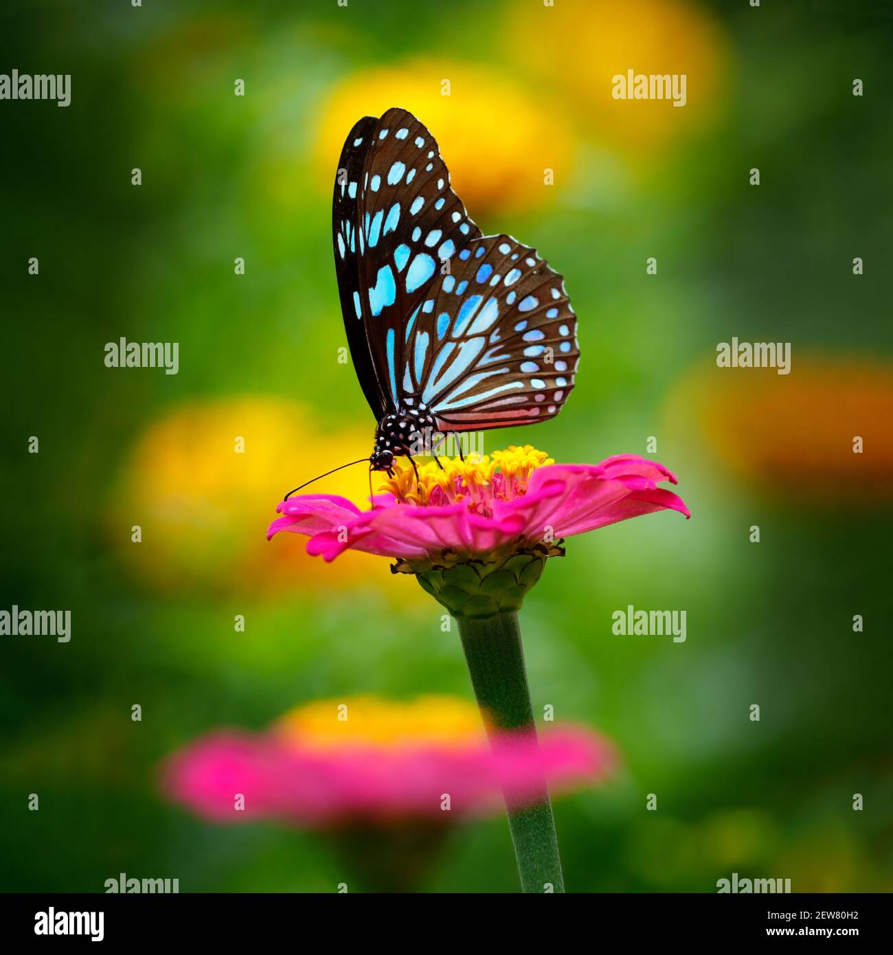 Butterfly Blue Tiger or Danaid Tirumala limniace on a pink zinnia flower with dark yellow green blurred bokeh background Stock Photo