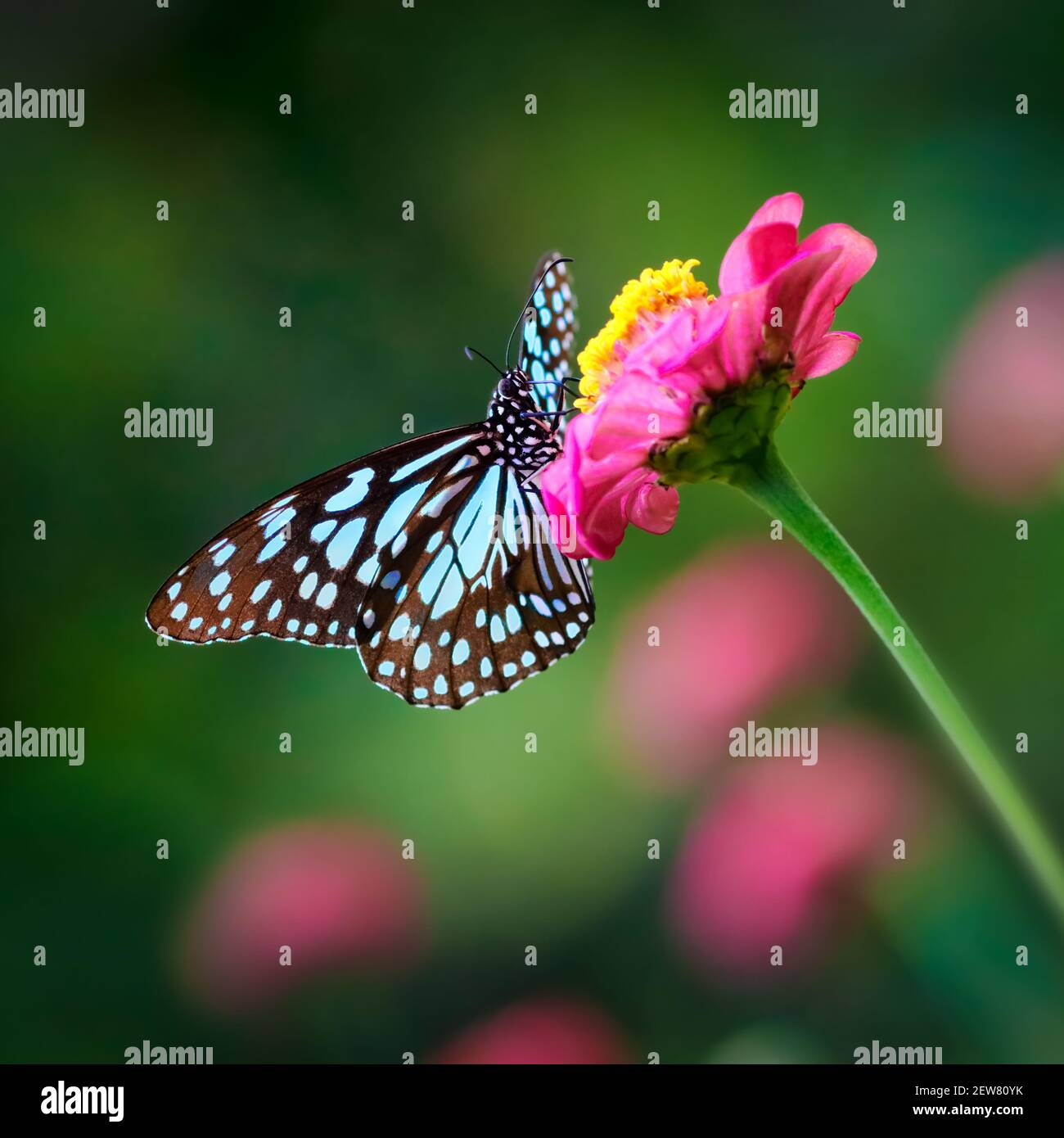 Butterfly Blue Tiger or Danaid Tirumala limniace on a pink zinnia flower with dark green colorful blurred bokeh background Stock Photo