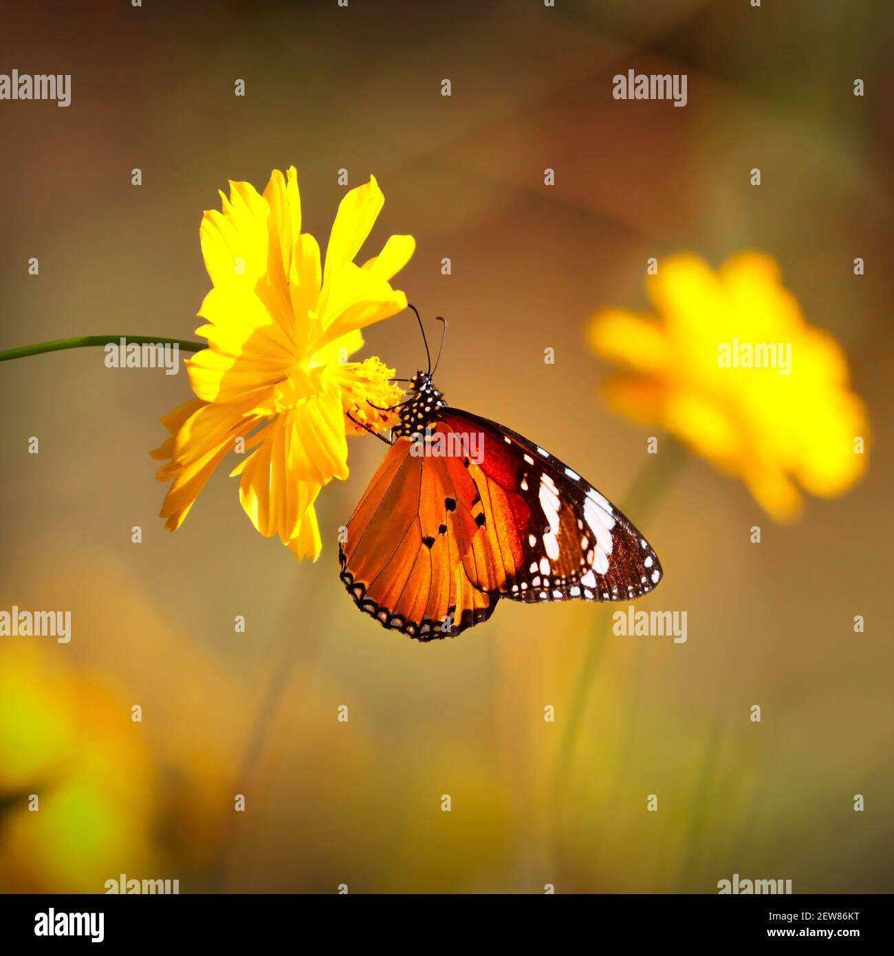 Butterfly Orange Tiger or Danaus chrysippus on pink globe amaranth flower with blurred yellow bokeh background Stock Photo