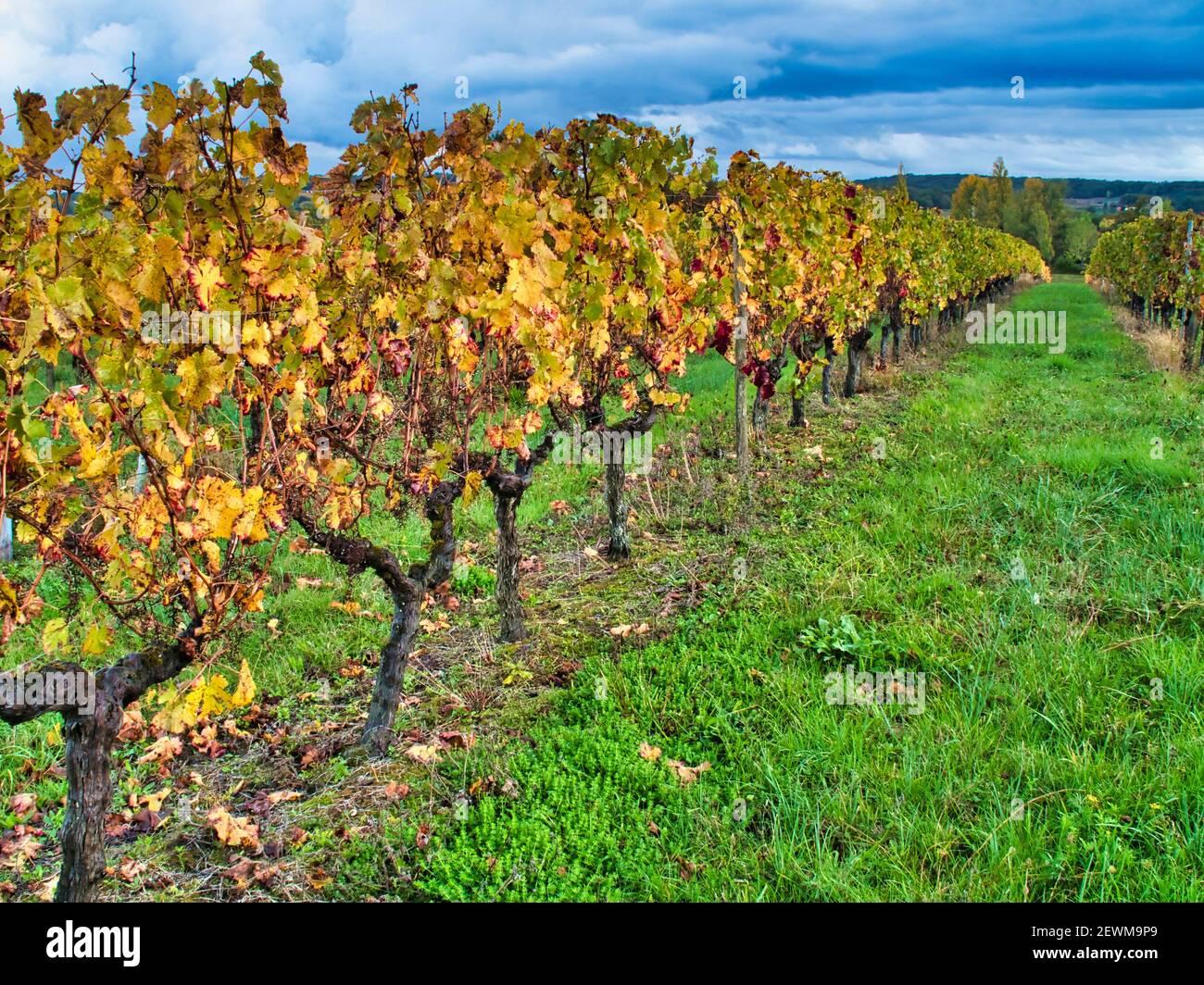 vineyards in autumn near Saint Julien dÕEymet, Dordogne Department, Nouvelle Aquitaine, France. Stock Photo