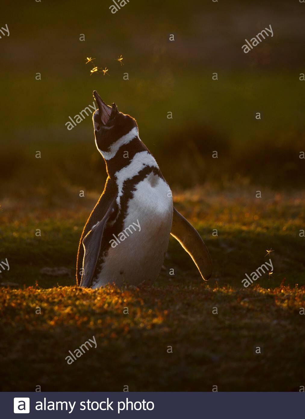 Magellanic penguin (Spheniscus magellanicus) at his nesting hole, Volunteer Point, East Falkland, Falklands Stock Photo