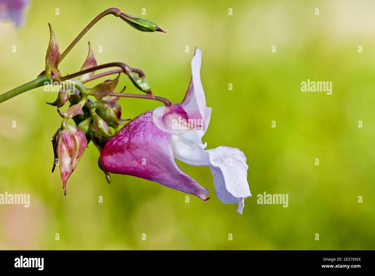 Druesige or Indian balsam (Impatiens glandulifera), Himalayan balsam Stock Photo
