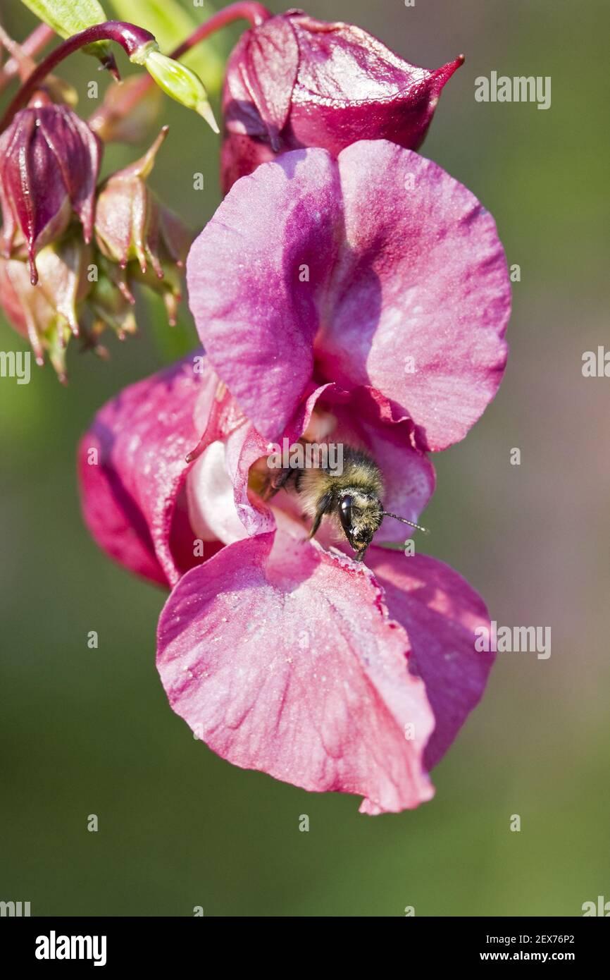 Bee and Druesige or Indian balsam (Impatiens glandulifera), bee an Himalayan balsam Stock Photo