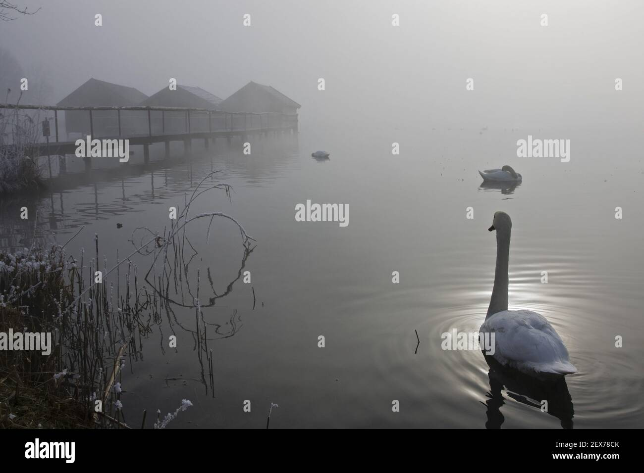 Swan on lake Kochelsee in frost and fog, Upper Bavaria, swan on lake kochelsee in winter, bavaria, germany Stock Photo