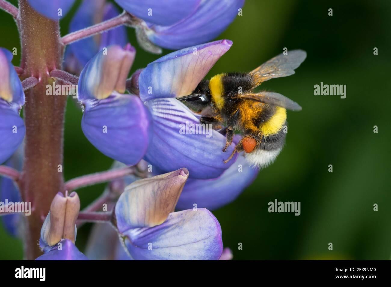 Erdhummel, Erd-Hummel, Weibchen, Blütenbesuch an Lupine, mit Pollenhöschen, Bombus spec., Bombus, bumble bee Stock Photo