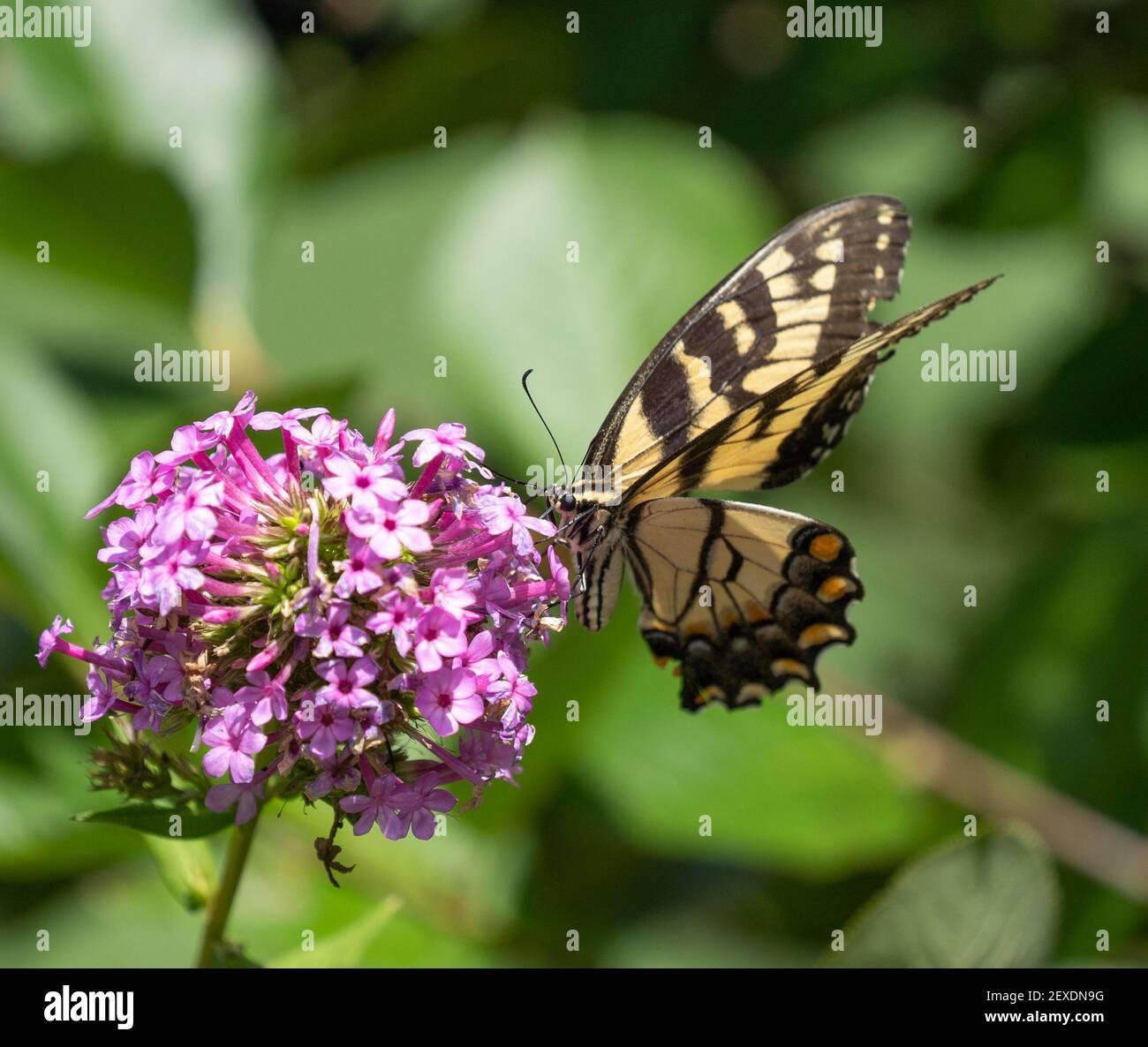Beautiful Tiger Swallowtail butterfly  feeding on purple flower in summer garden. Stock Photo