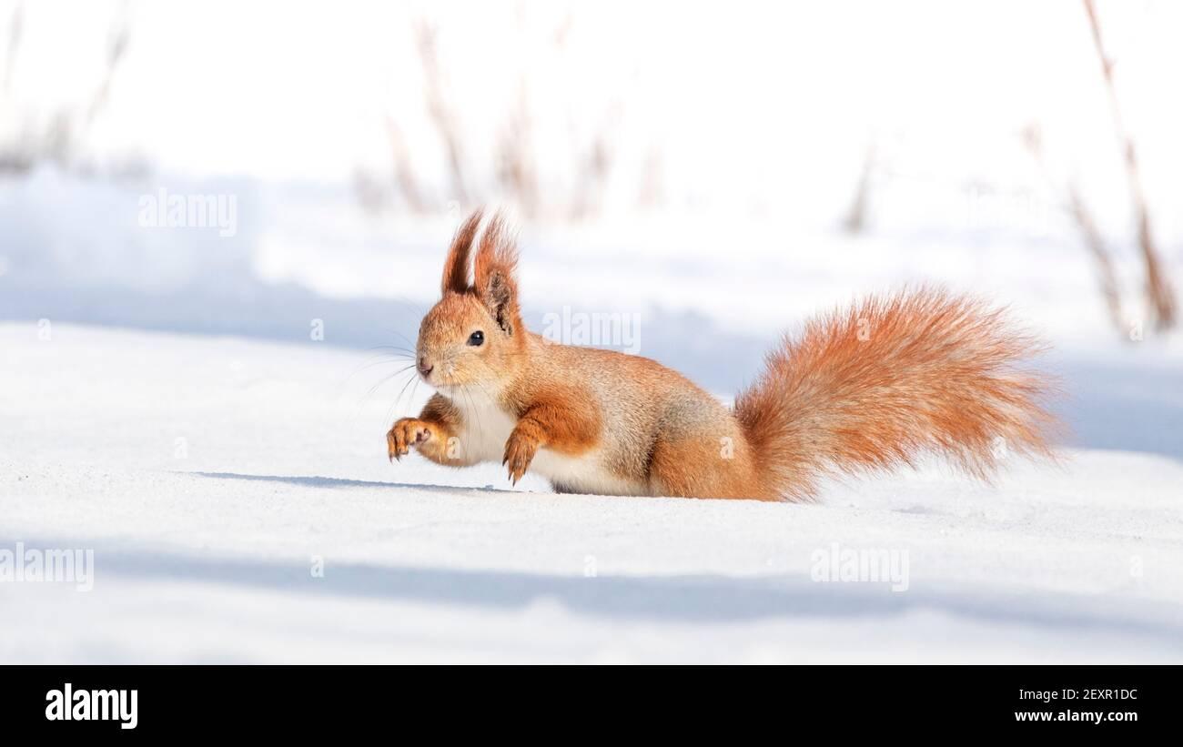 Tamia Sciurus hudsonicus red squirrel on white snow. Stock Photo