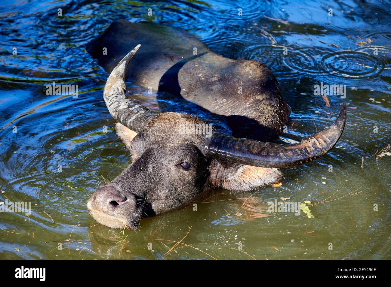 Feral, water buffalo (bubalus bubalis) cooling down in the river near Ham Tin  The buffalo are not native to Hong Kong. These are the descendants of a Stock Photo