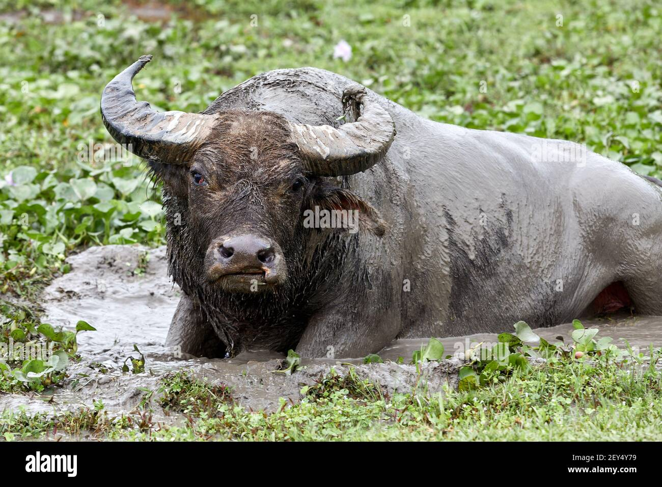 Feral, dominant male water buffalo (bubalus bubalis) wallowing in mud.  The buffalo are not native to Hong Kong. These are the descendants of animals Stock Photo