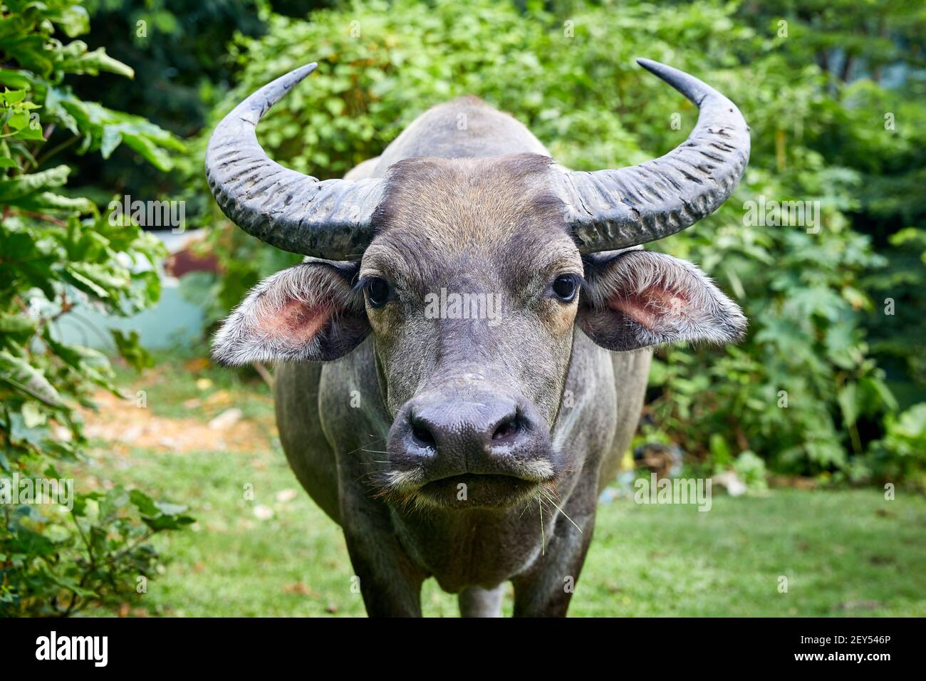 Feral, water buffalo (bubalus bubalis). Male about 12 years old   The buffalo are not native to Hong Kong. These are the descendants of animals that w Stock Photo