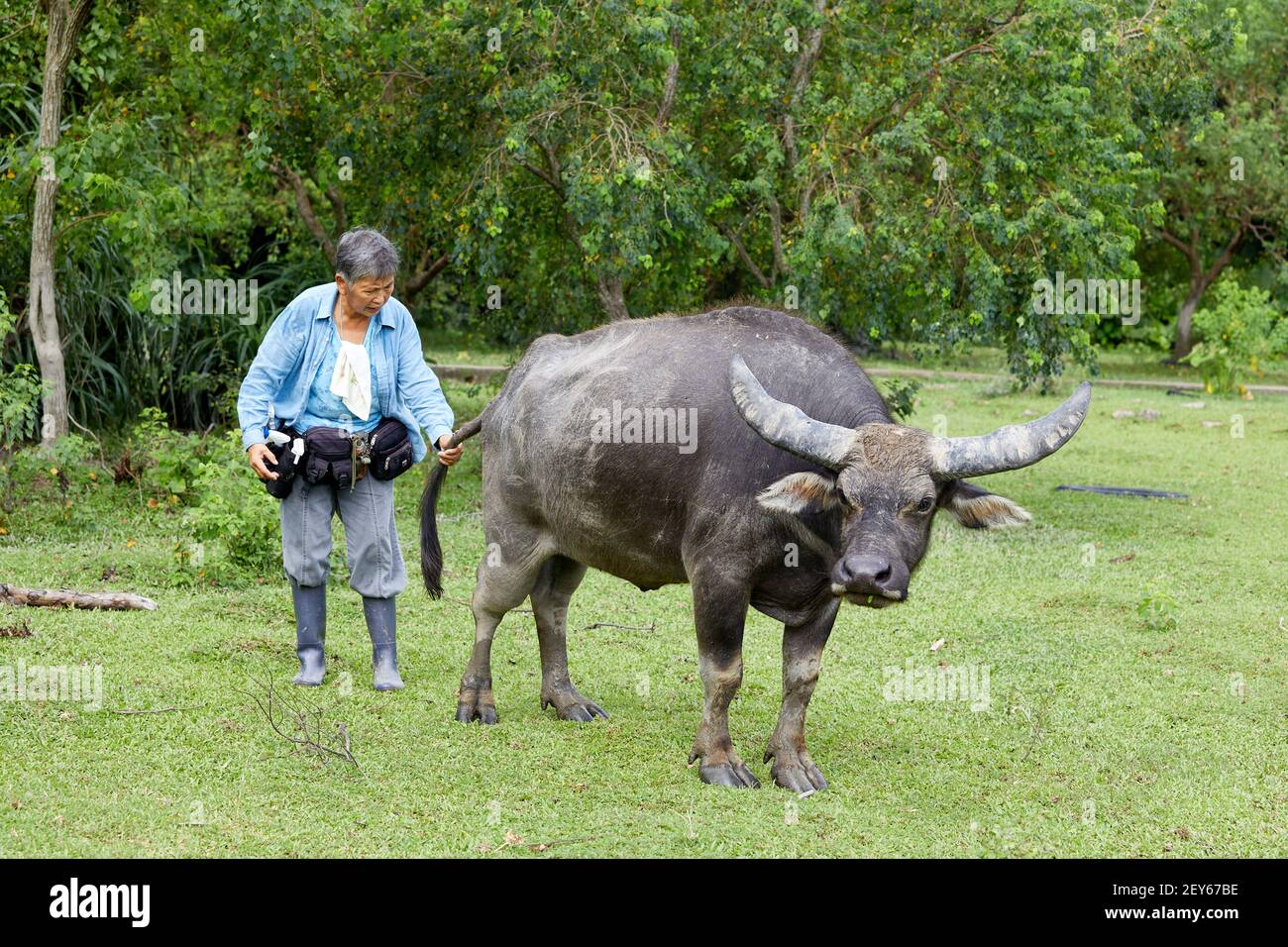 Jean Leung Siu-wah, known locally as the buffalo mother, or buffalo whisperer seen here with the buffalo she calls Ngau Ngau. She has been looking aft Stock Photo