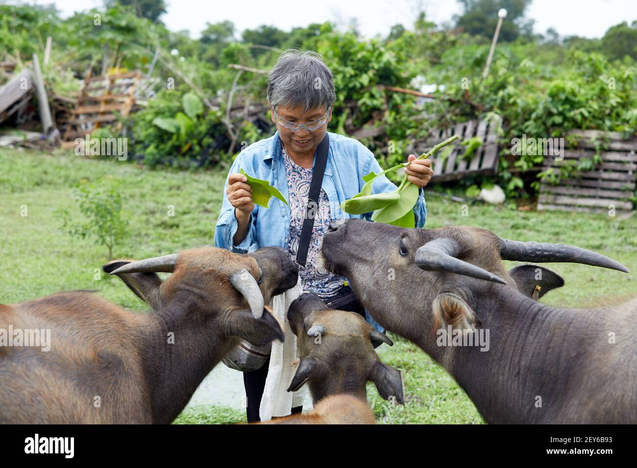 Jean Leung Siu-wah, known locally as the buffalo mother, or buffalo whisperer has been looking after the welfare of the animals since 2008.  Photo by Stock Photo
