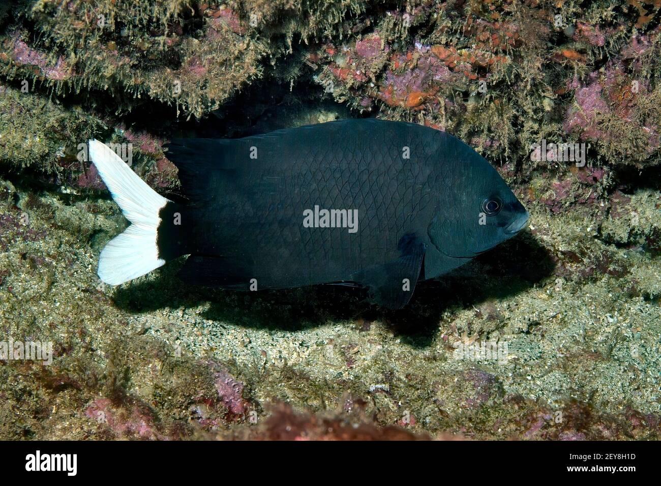"Cape Damsel, Black White Damselfish, ""Similiparma hermani"", Palmeira, Sal Island, Cabo Verde, imp Stock Photo"