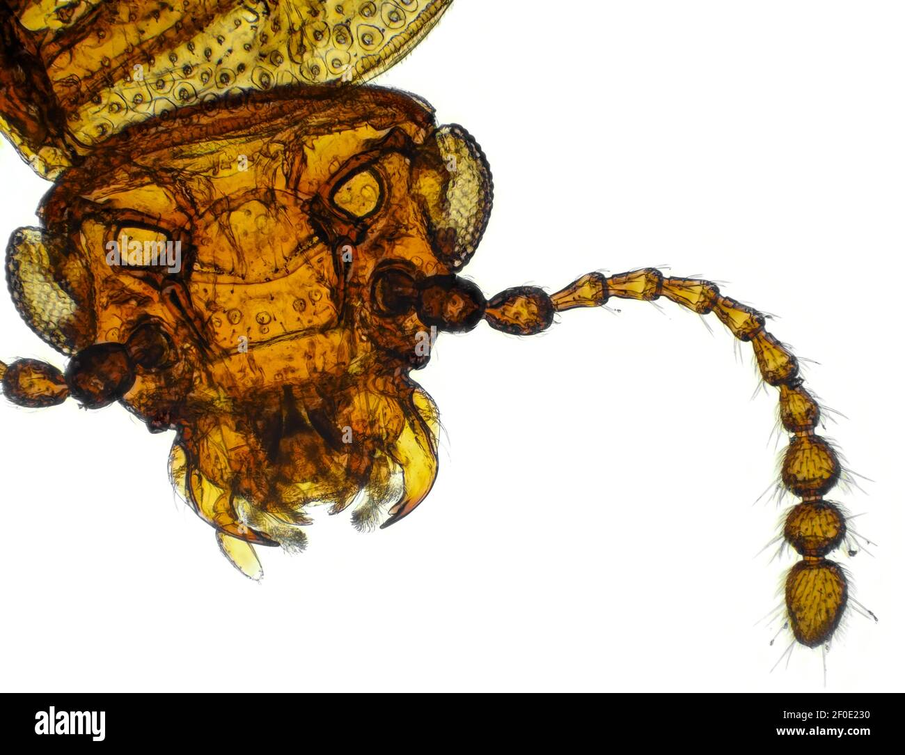 Brightfield micrograph of Derodontus trisignatus (small fungus beetle), horizontal field of view is approximately 1.19mm Stock Photo