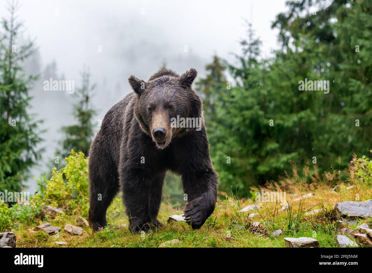 Wild adult Brown Bear (Ursus Arctos) in the mountain summer forest Stock Photo