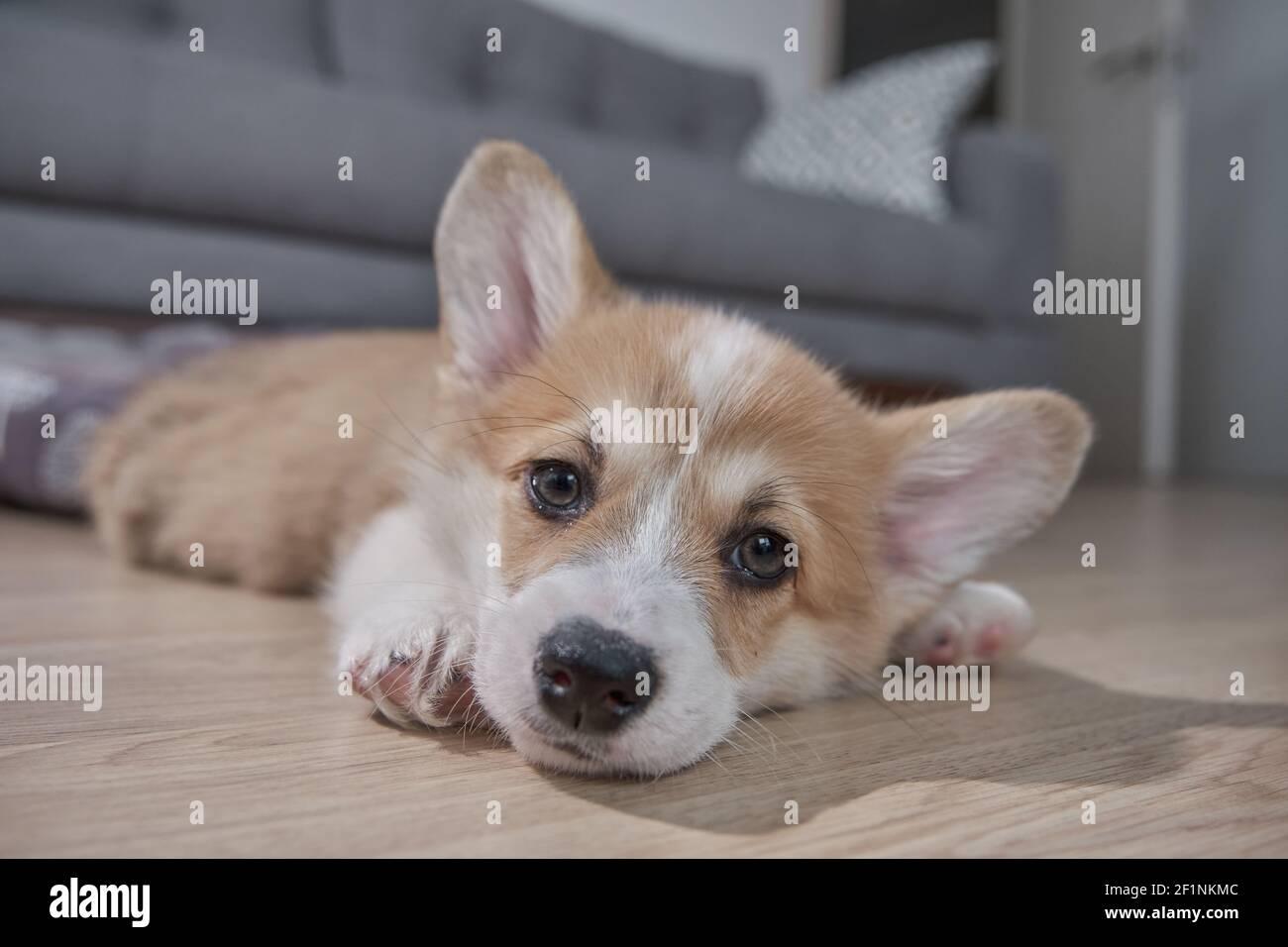 Corgi Puppy Sleep High Resolution Stock Photography And Images Alamy