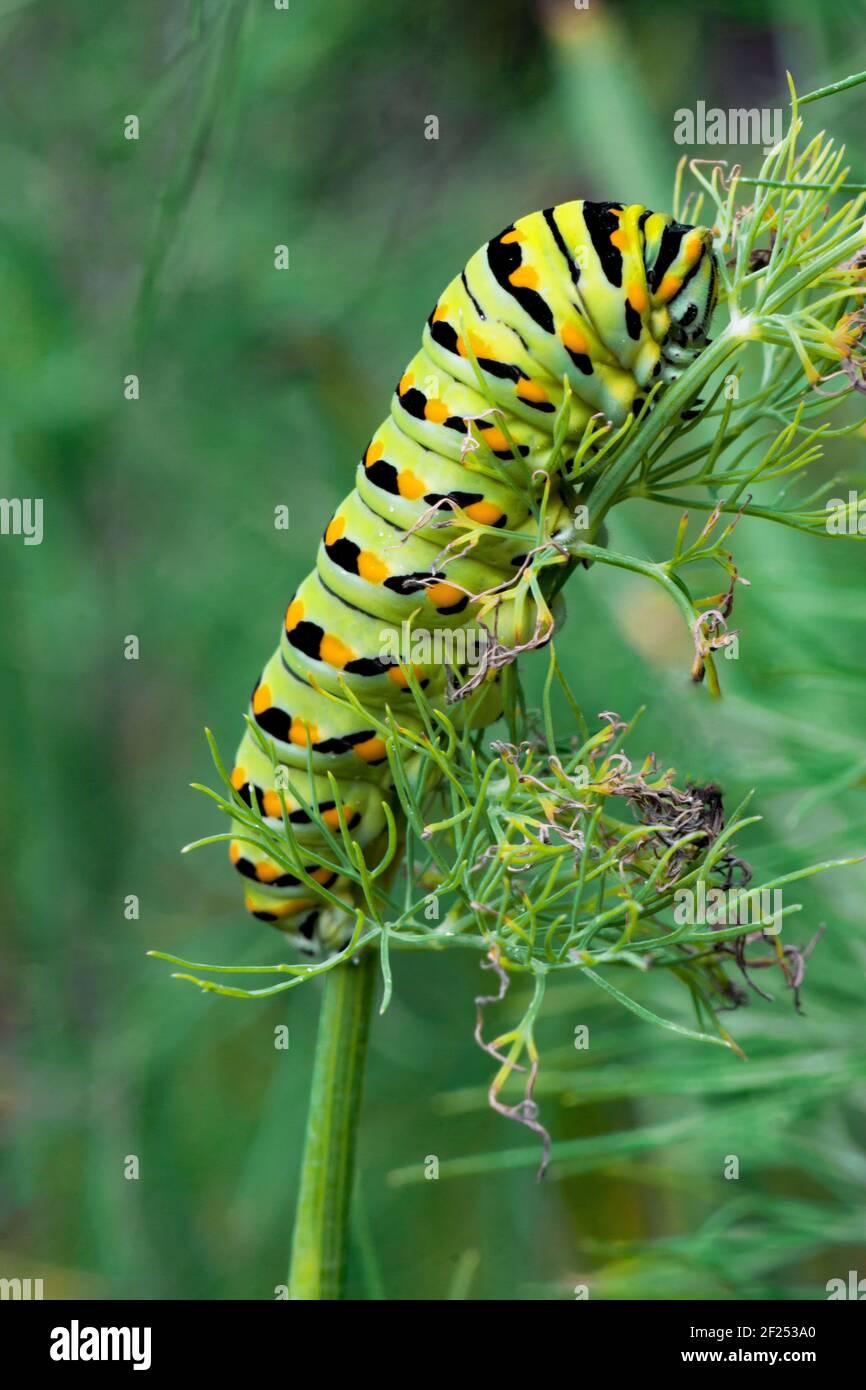 A Black Swallowtail Larva feeding on dill in a home garden in eastern Pennsylvania. Stock Photo