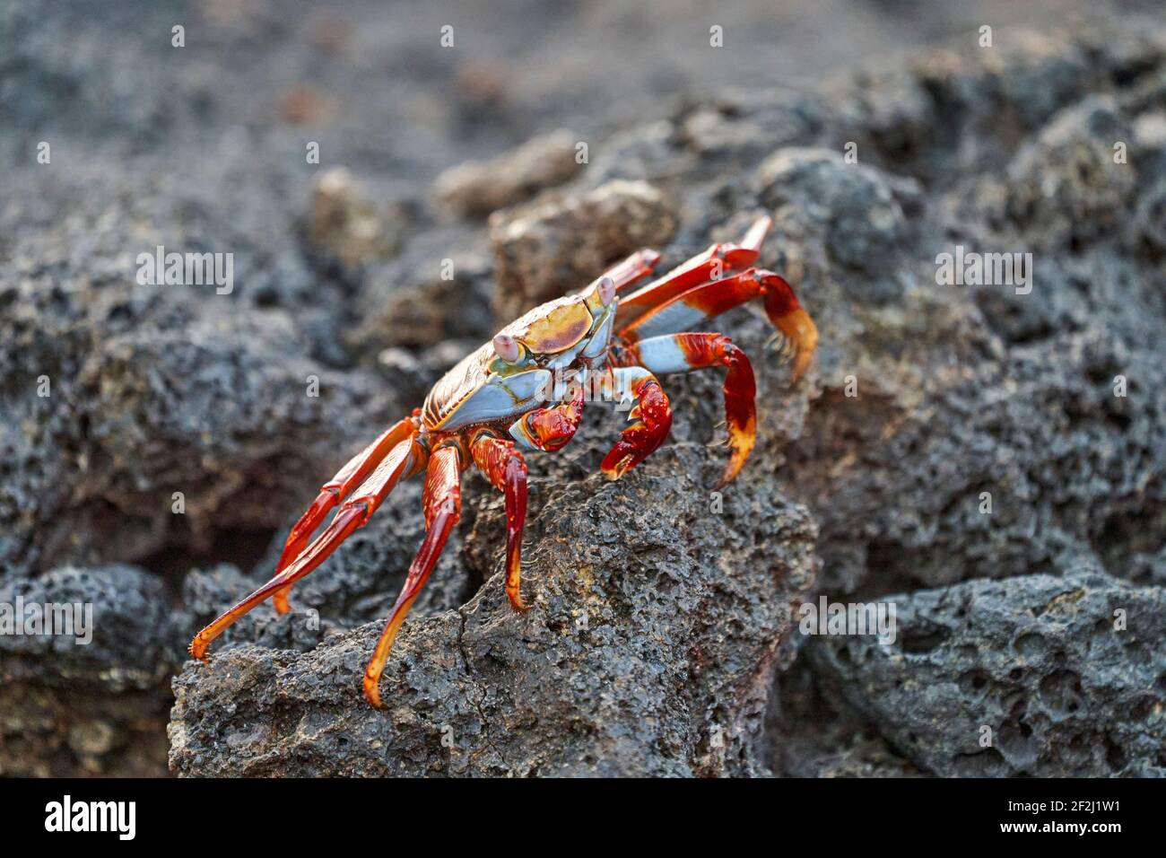 red rock crab , Grapsus grapsus, also known as Sally Lightfoot crab sitting on the lava rocks of the galapagos islands, Ecuador, South America Stock Photo