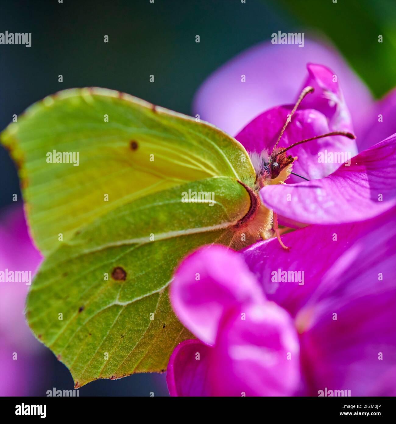 Extreme macro shot of a brimstone butterfly (gonepteryx rhamni) sitting on a pink vetch. Stock Photo
